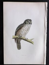 Morris 1897 Antique Hand Col Bird Print. Hawk Owl